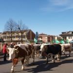 vacche in corteo