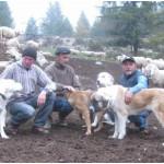 Per difendere le pecore in montagna non è il caso di uccidere i lupi! Basta possedere dei buoni cani da guardiania.